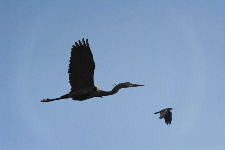 chasing crow b